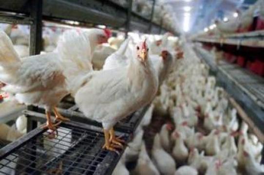 Plan de afaceri pentru ferma avicola pentru carne de la Duplicom Grup Srl.