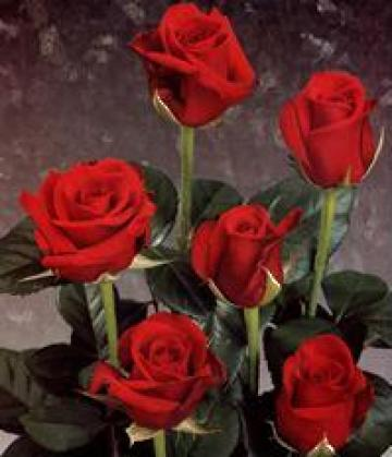 Butasi trandafiri