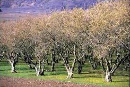 Puiet alun de la Pomi Fructiferi, Arbusti, Vita De Vie