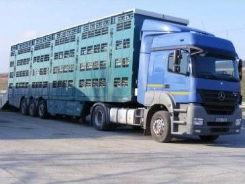 Transport animale vii - porci