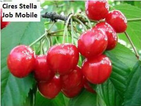 Puieti de cires Stella, Summit de la Pomi Fructiferi, Arbusti, Vita De Vie