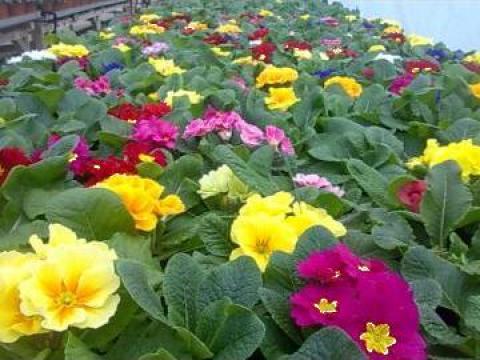 Flori Primule ghiveci 10 cm de la Biosolaris Producator Plante