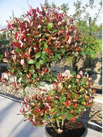 Planta ornamentala Photinia Red Robin